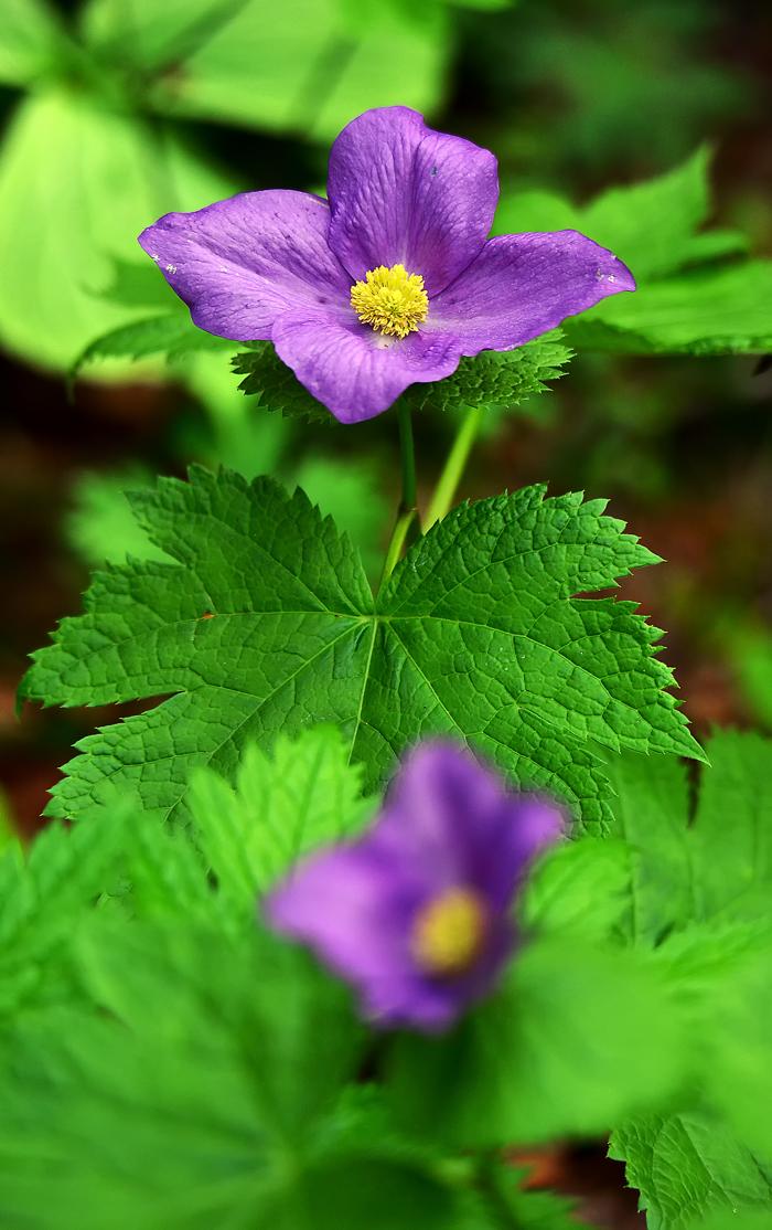 濃い紫のシラネアオイの花。微妙な色の違いもある