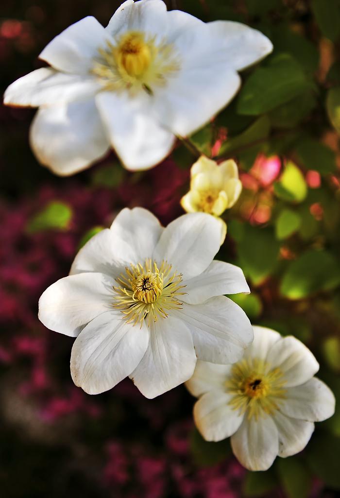 蔓植物ながら大輪の花を咲かすクレマチス