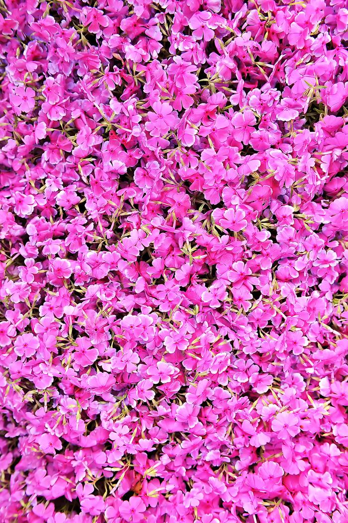 満開の盛りは過ぎたが息が長い庭のサクラソウ