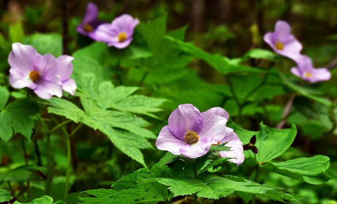 新緑の森の中に大輪を咲かせるシラネアオイ、深浦町で