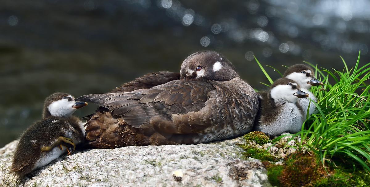 子育ての疲れで、お母さんは岩の上でウトウトと。ヒナたちは元気なキョロキョロ
