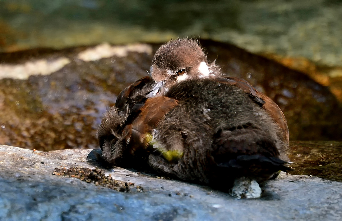親を亡くし、兄弟をカラスに獲られたシノリガモのヒナ。ピーピー鳴きながら泳ぐので「ピー助」と名づけて観察していたが、成長する前に行方不明となってしまった