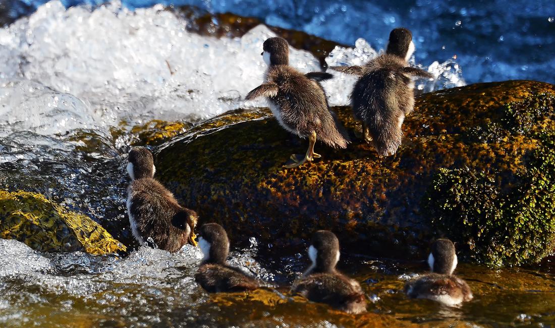 泳ぎ疲れたら競うように小岩に登る。後姿が羽根のないペンギンみたい