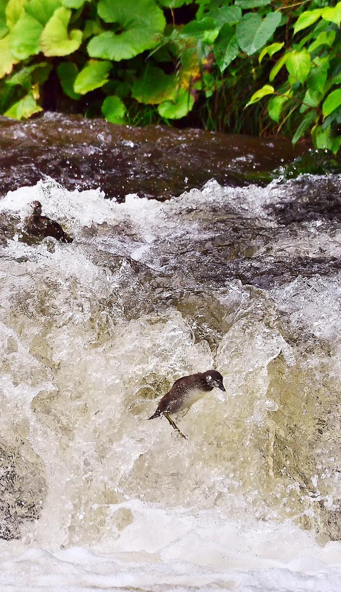 大雨による増水と激流化でヒナの暮らしに変化が。濁った滝の水と共に流されるヒナ