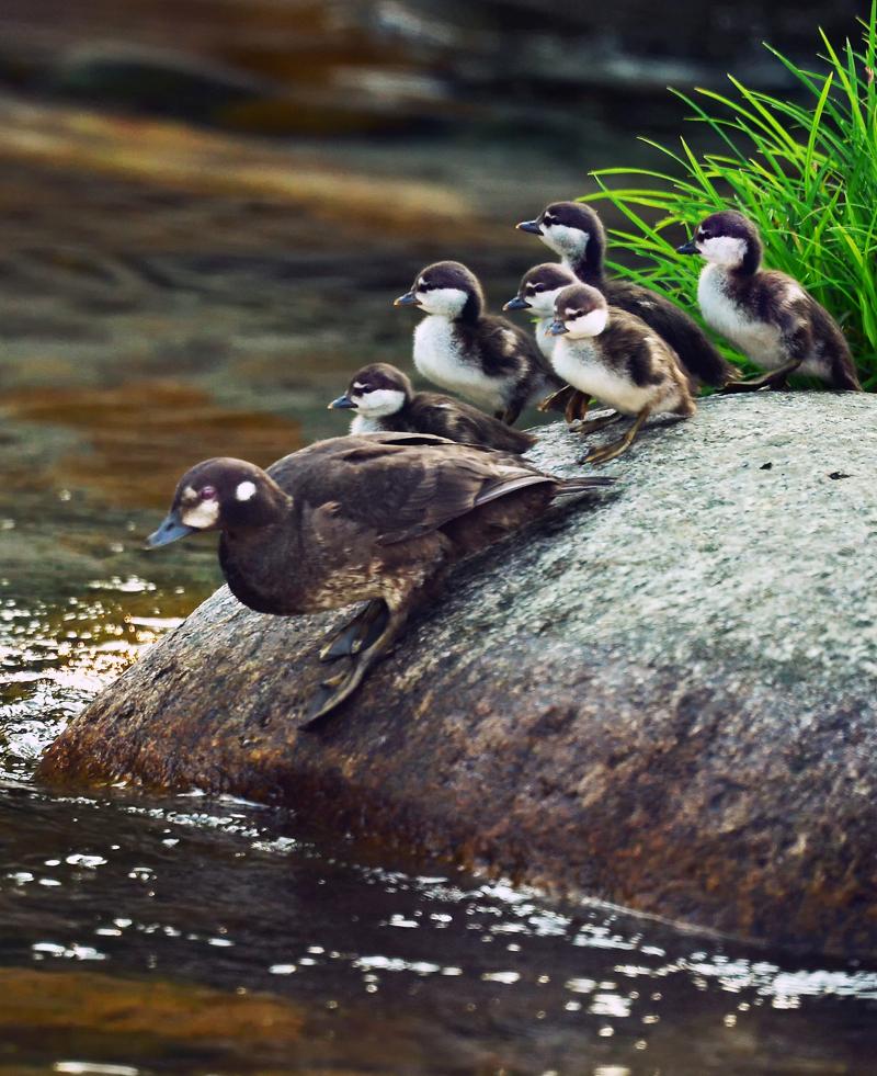 川面に降りる時も、皆でそろって一列に。必ずお母さんの後を追う