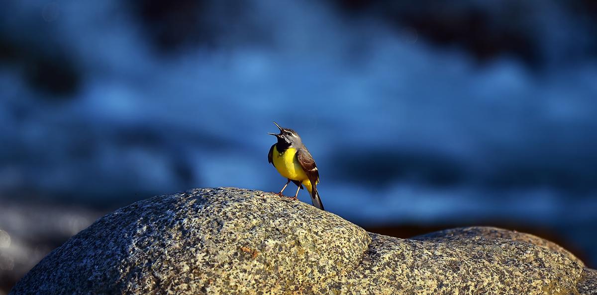 この川はキセキレイの縄張り。岩の上でヒナを呼ぶ親鳥
