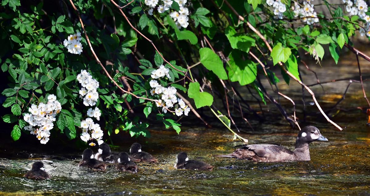 川面に垂れ下がったお花の下を泳ぐ