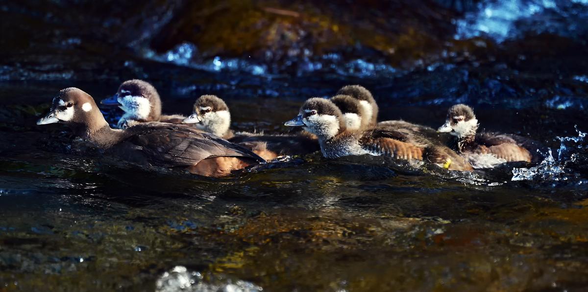 生き残っているグループ。しっかり危機管理できる、このお母さんは、顔つきも似ていることから、去年の母鳥かもしれない