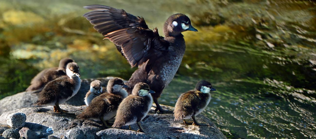岩の上で羽ばたくお母さん