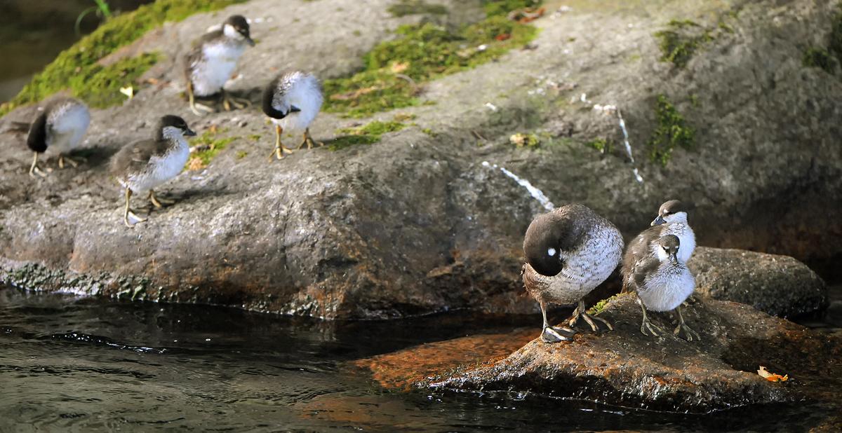 岩の上に上がると親子が揃って羽繕い