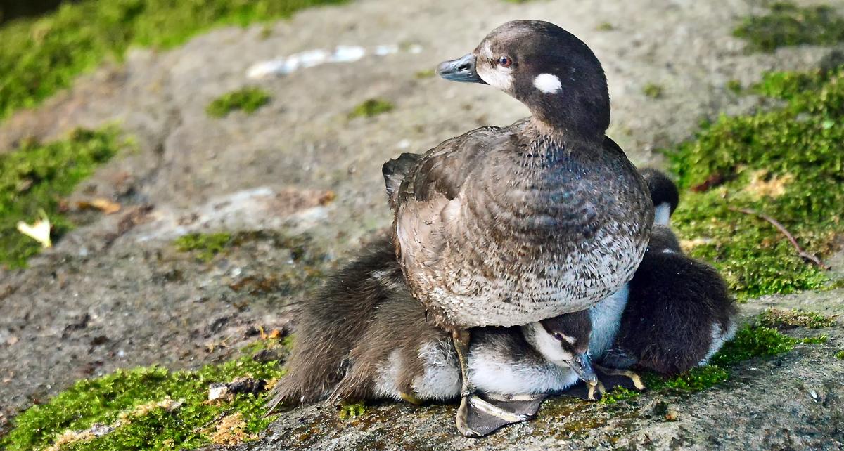 岩の上で休む時も周囲を警戒するお母さん。その羽根の下に隠れる6羽のヒナたち