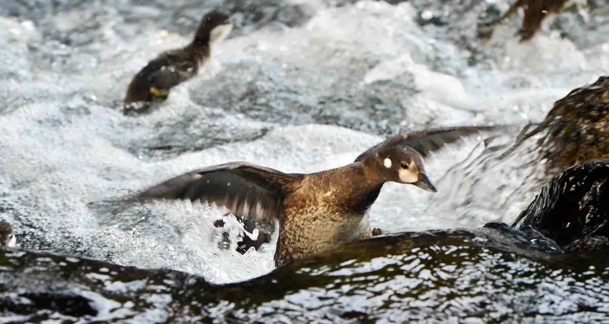 羽を広げて渓流の岩場を上るお母さん。ハヤブサに襲われてしまったようだ