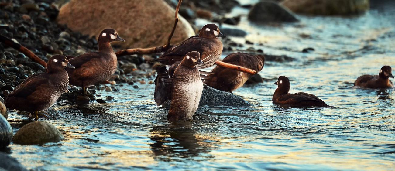河口付近で羽ばたく練習をするヒナ。間もなく巣立ちを迎える