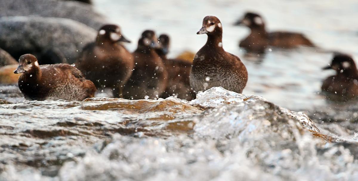 滑るように水面を泳ぐ。もうお母さんと変わらないぐらいに、餌も採れる
