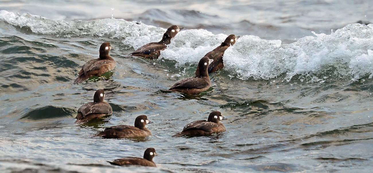 海へ出て、波間も潜りながら餌を探すシノリガモの親子
