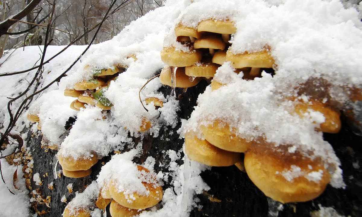 雪を被って凍りついたナメコ。溶かせば美味しく戴ける