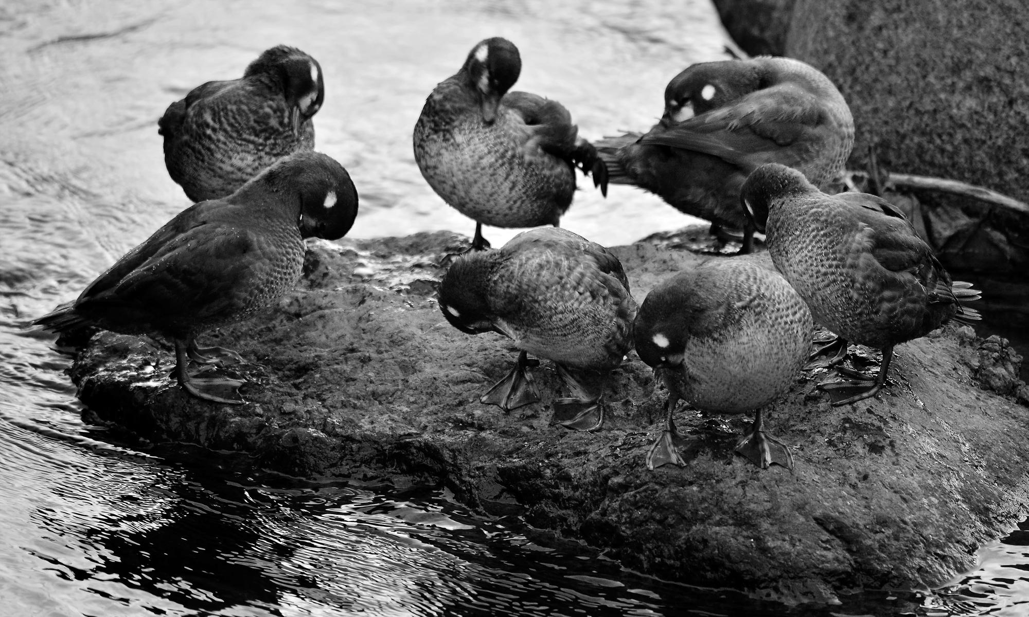 岩に上がると、全羽が一斉に毛ずくろいをする。もう一人前になれたかな