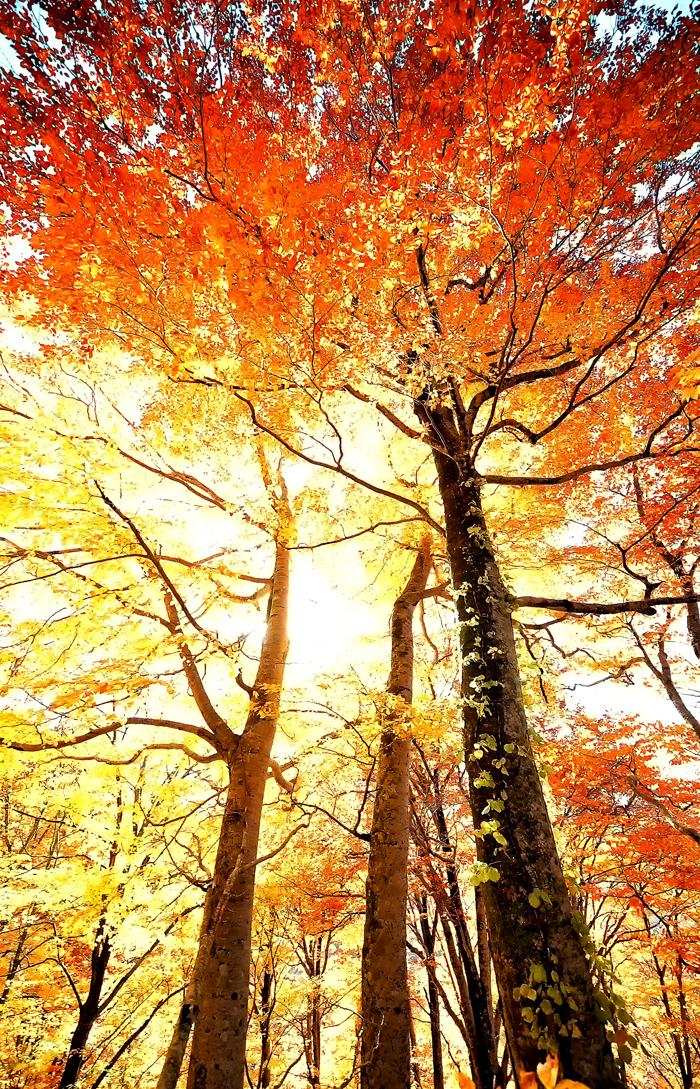 色づいたブナの木越しの木漏れ日