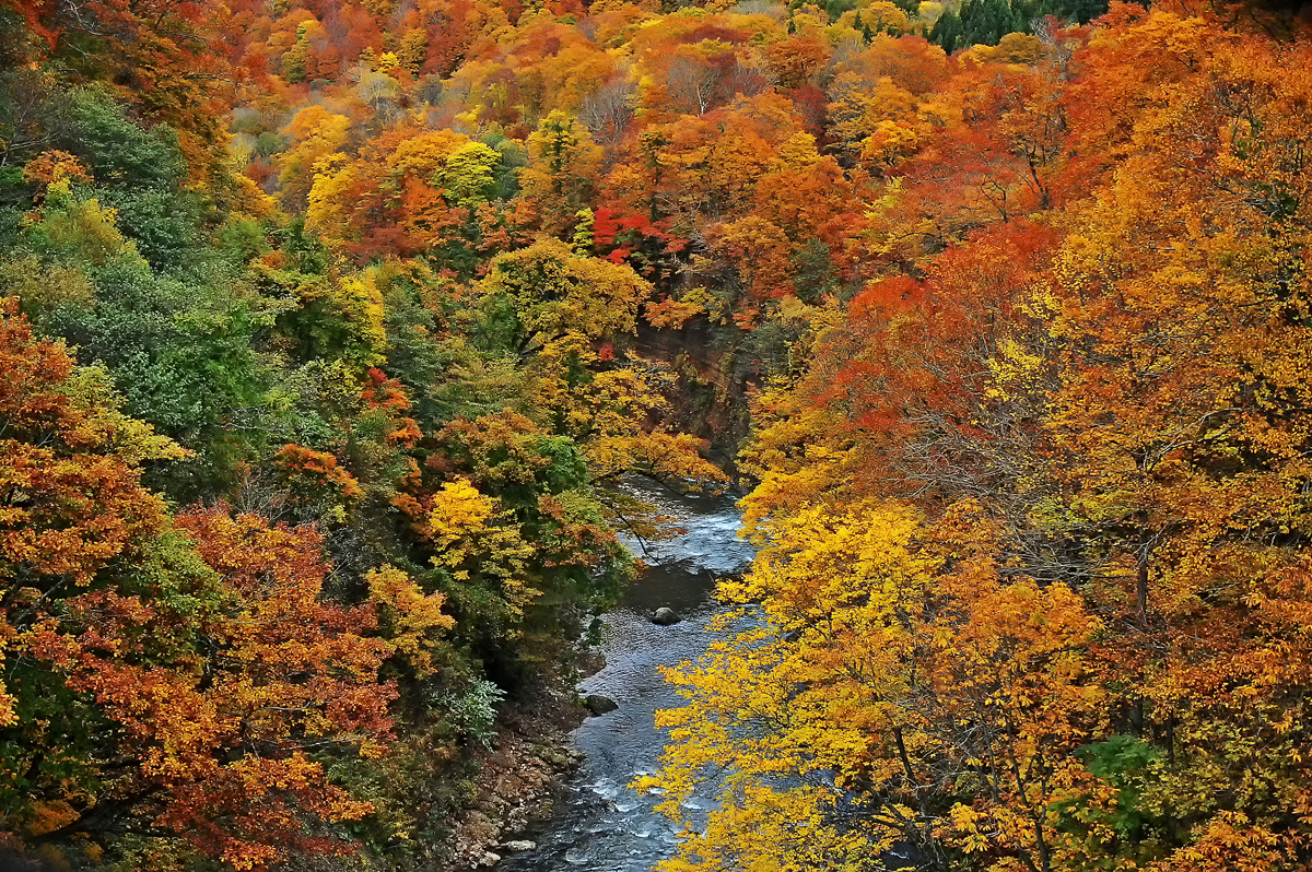 紅葉した木々に彩られる赤石川。まさに世界遺産の絶景だ(昨秋撮影)=鰺ヶ沢町で