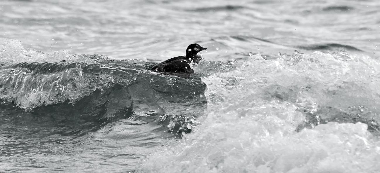 一羽で海にいても平気。もう、自由に飛べるようになってきたからね
