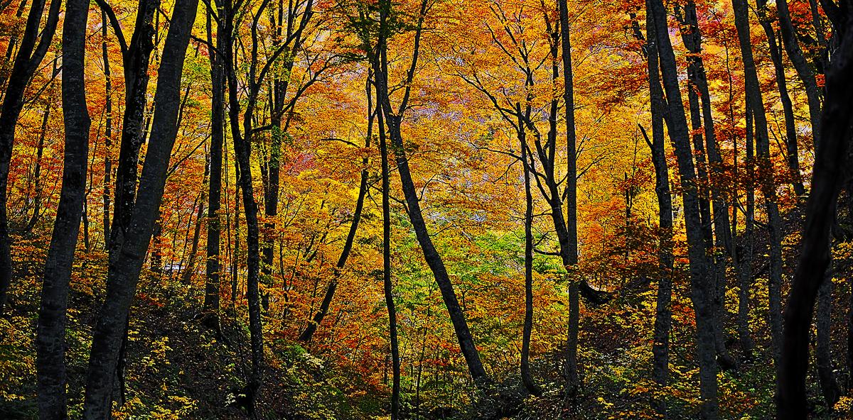 ブナやイタヤカエデなどの紅葉した木々に彩られた森=鰺ヶ沢町で