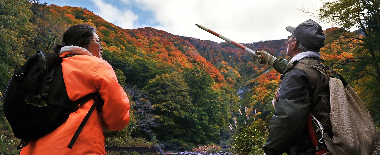 向白神岳の頂上付近から降りてきている紅葉。間もなくピークを迎える=深浦町で