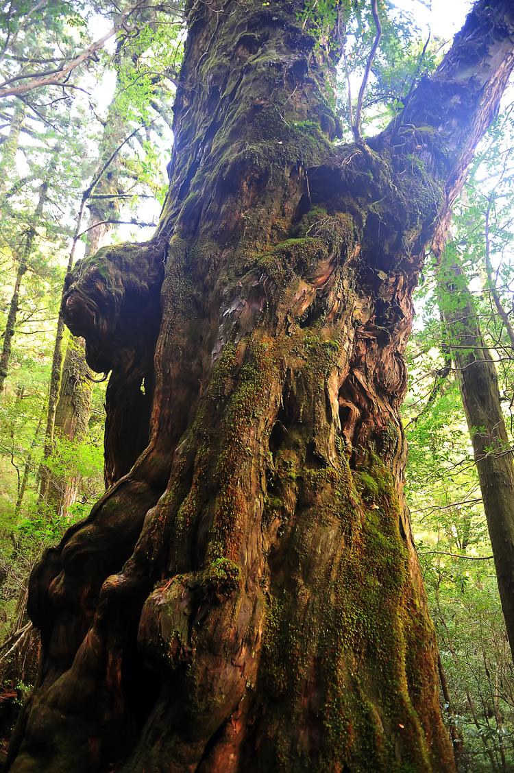 ヤクスギランドにある樹高が21.5㍍、胸高周囲は8.0㍍、樹齢は1800年の仏陀杉