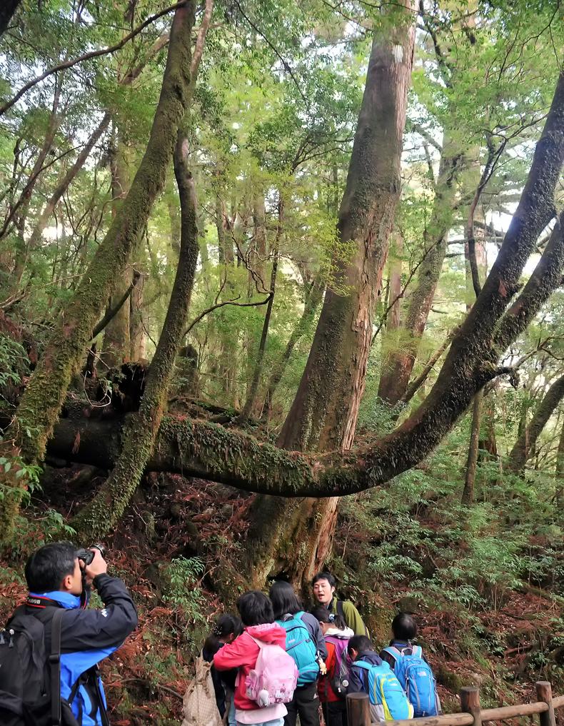うっそうとした森に杉の巨木が立ち並ぶヤクスギランド