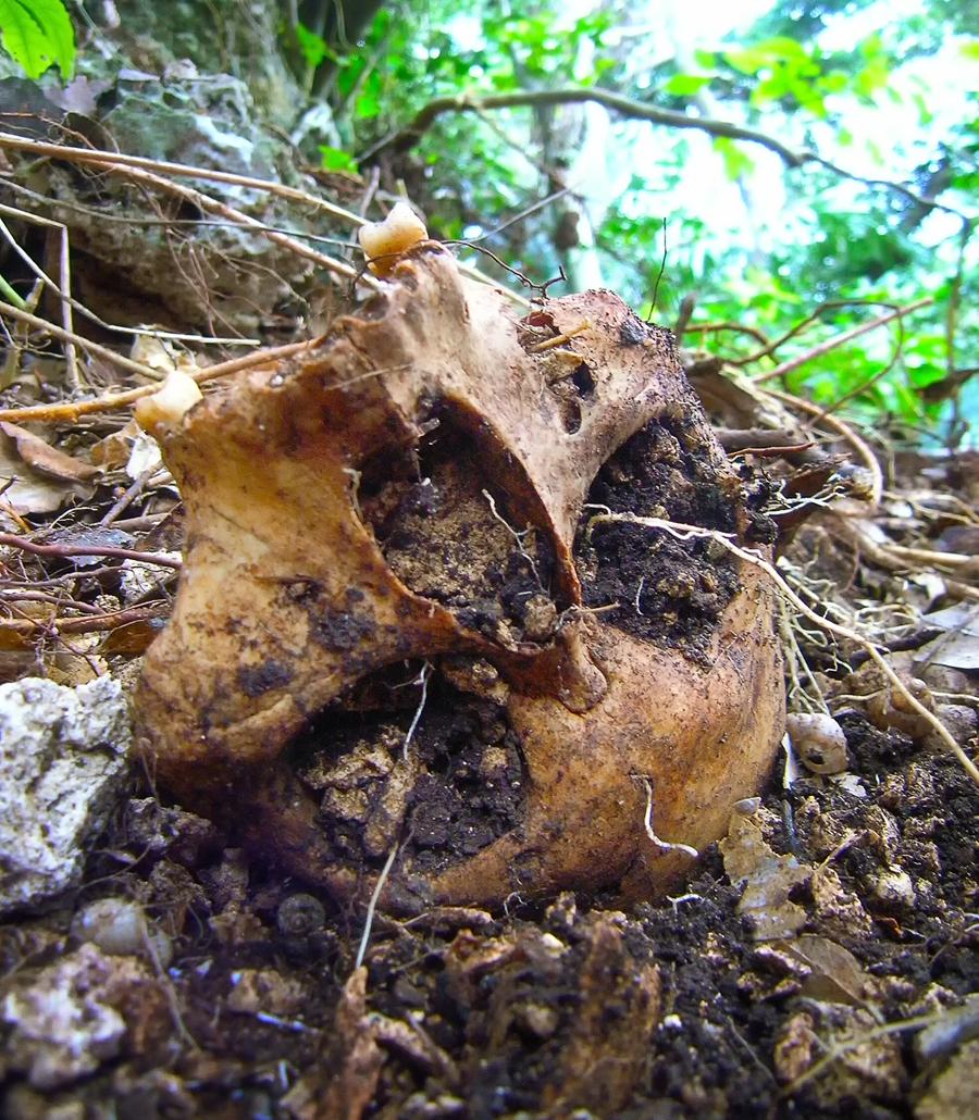 サンゴ石灰岩が混じった土に埋もれていた戦没者の頭骨。目の部分から根っ子が出ていた