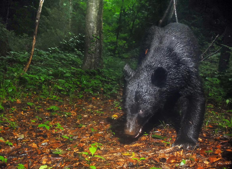 雨あがりの森に現れたクマ。四つん這いになっても体高が1㍍以上あり、かなりの大物だ