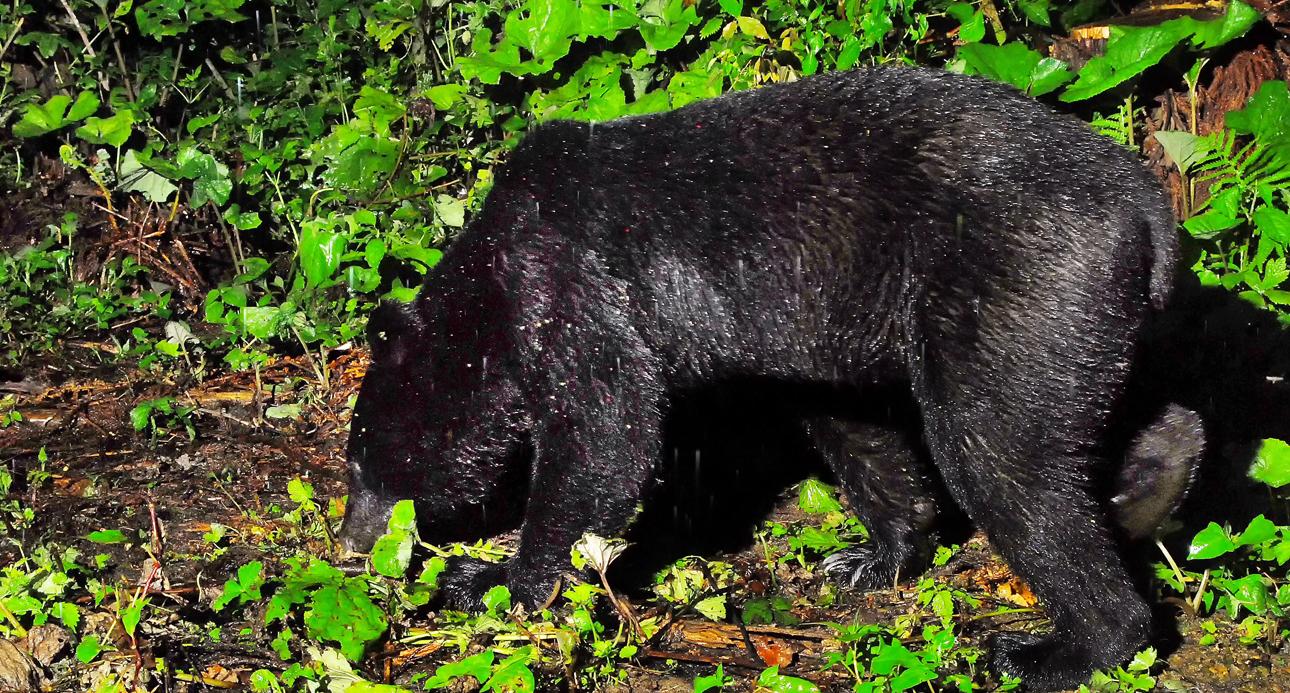 このクマも雨中に現れた。雨はお互いの音と匂いを消す、とマタギの親方は語る