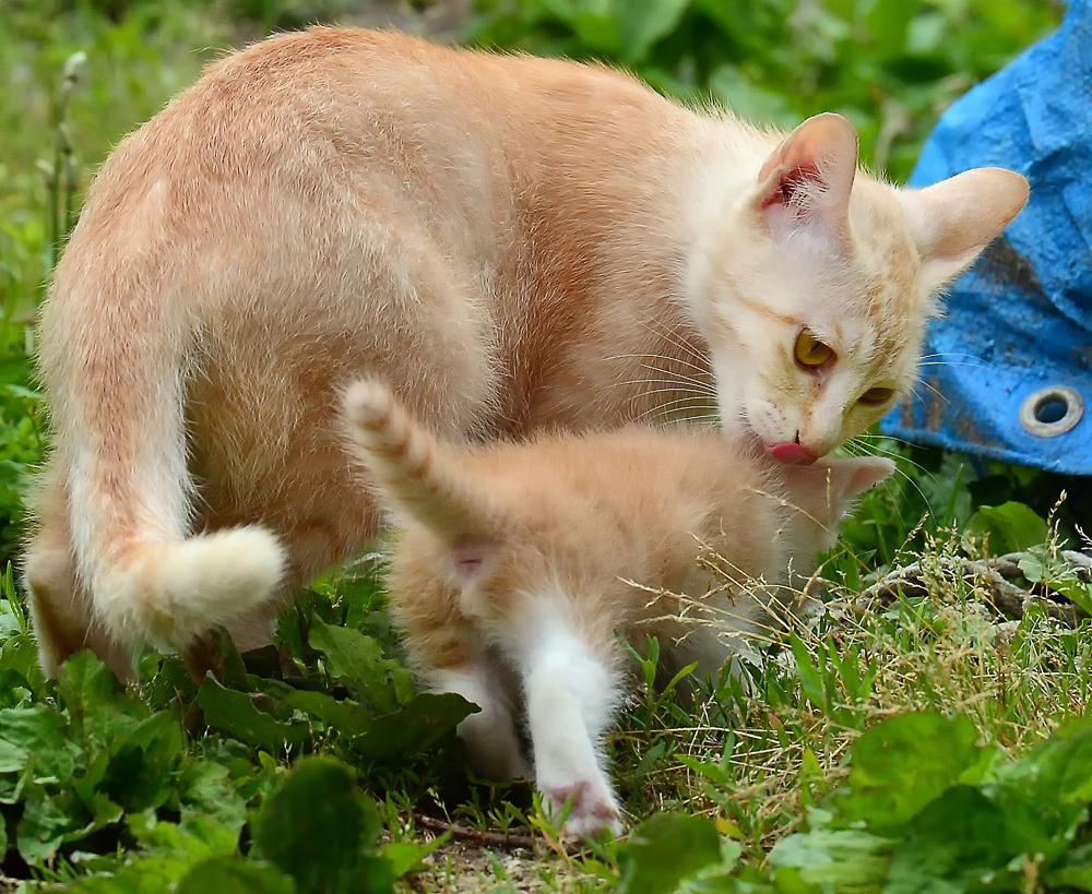 子猫の背中を優しく噛んで連れて行こうとするお母さん猫