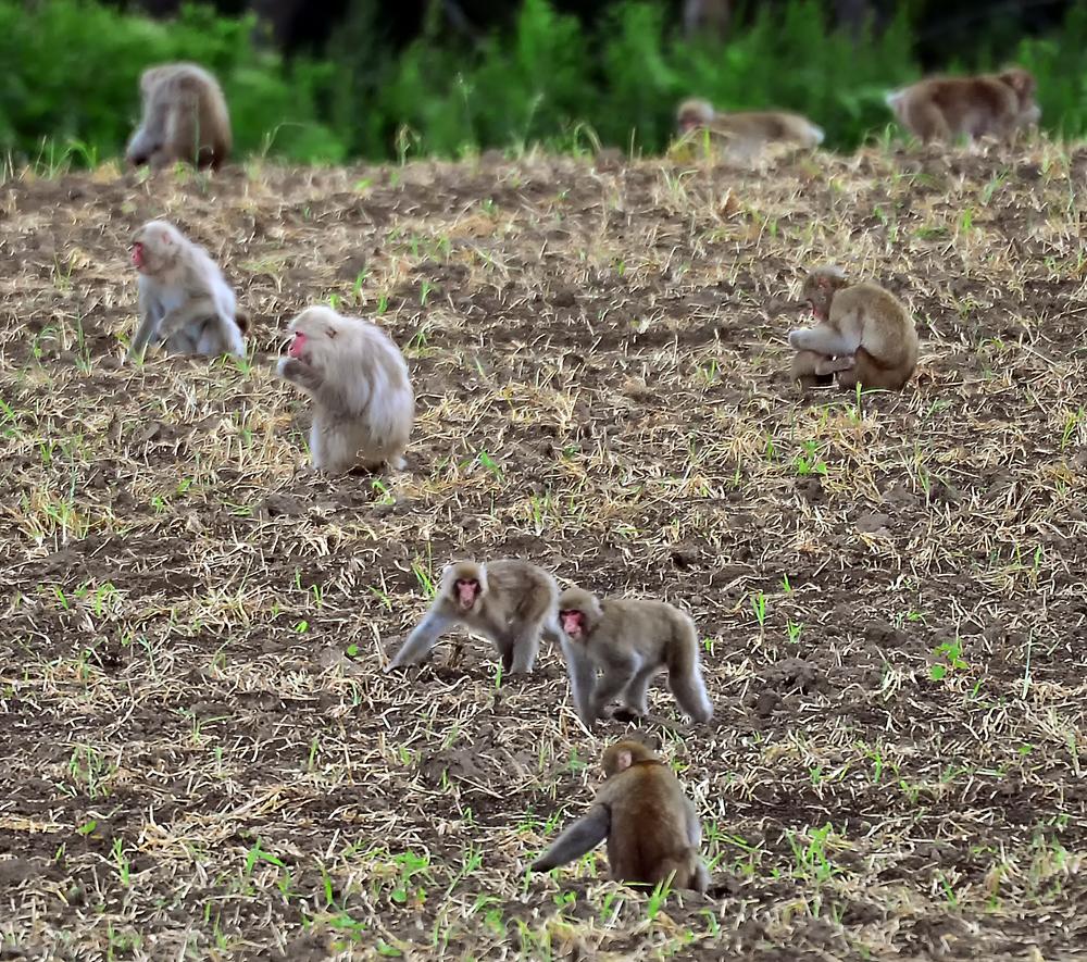 集団で農場を襲うサルの群れ