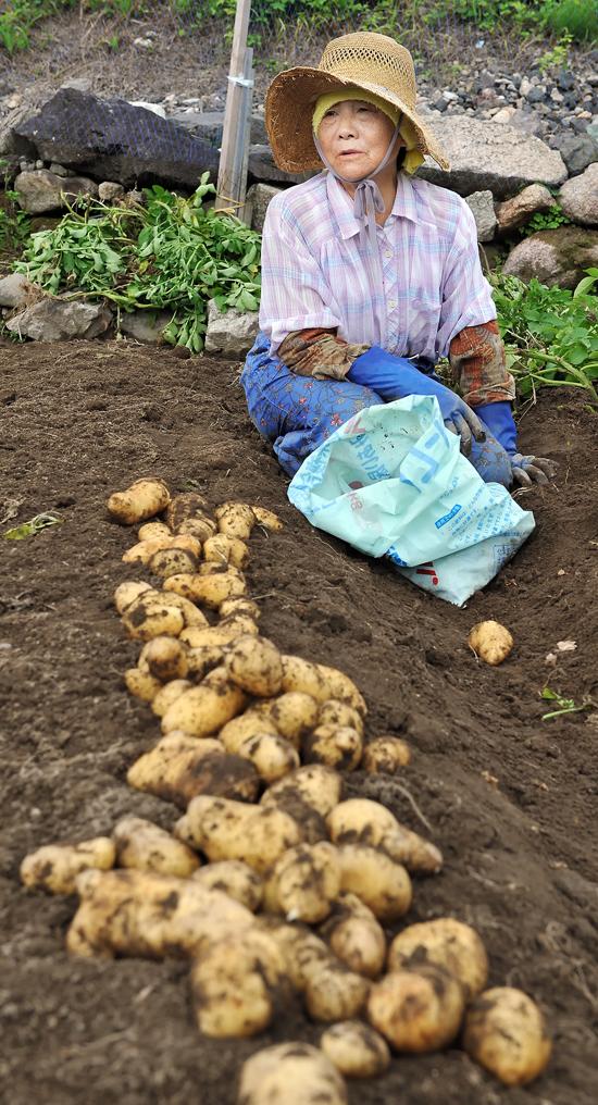 ジャガイモ畑をサルに荒らされ、見成熟な芋を慌てて収穫するお年寄り