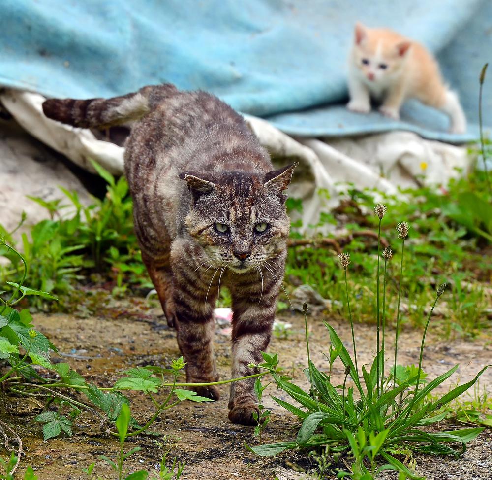 長寿番付に出てもおかしくない年齢なのに、風格のある力強い歩みで立ち去る寅次郎。「まってー。ボクも一緒に行くよ」と仔猫