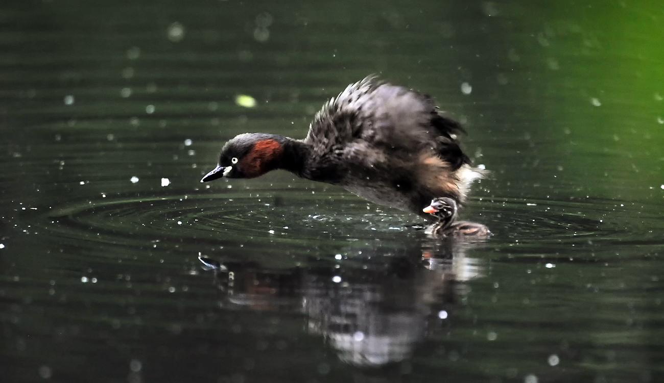 全身の羽根を膨らませて、雄たけびを上げるカイツブリ