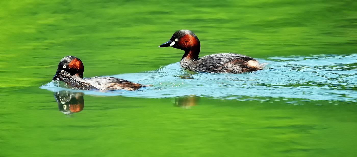 新緑の色が映り込む湖面を泳ぐカイツブリの夫婦