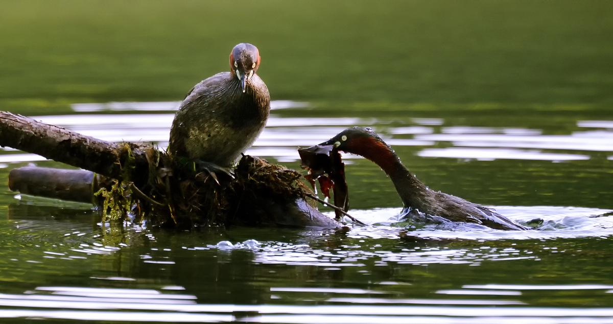 水上に突き出た朽木に巣を掛けるカイツブリ夫婦