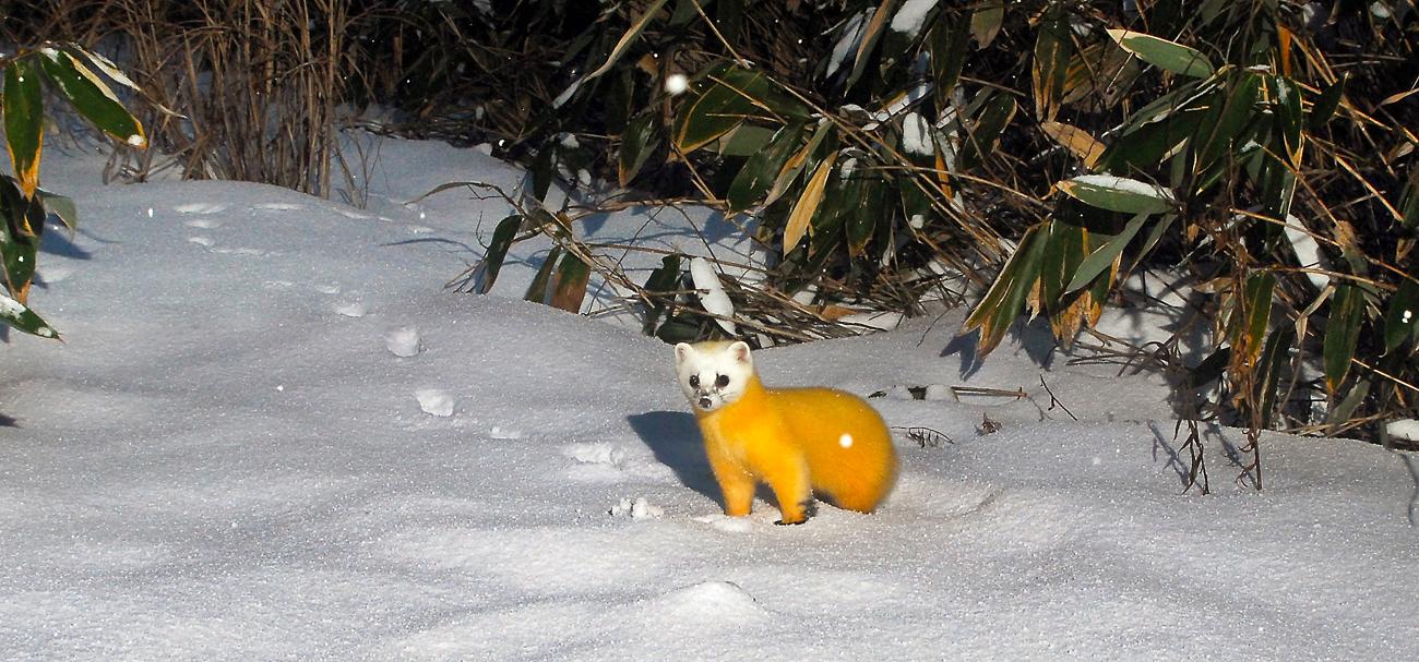 新雪の積もる遊歩道に現れたホンドテン