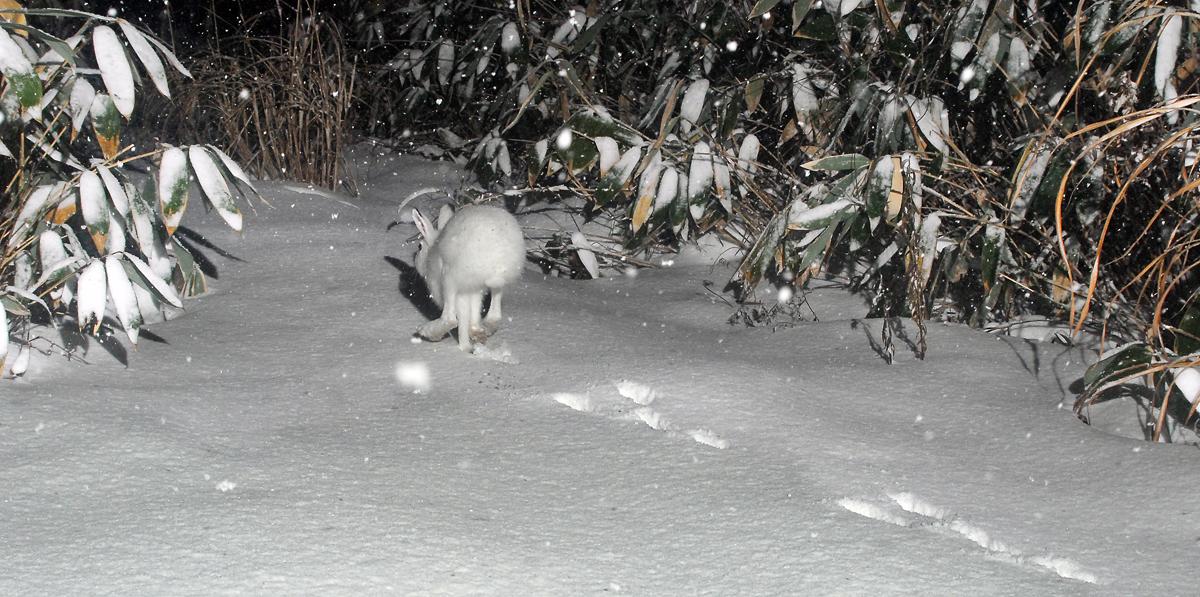 遊歩道を走り去るトウホクノウサギ