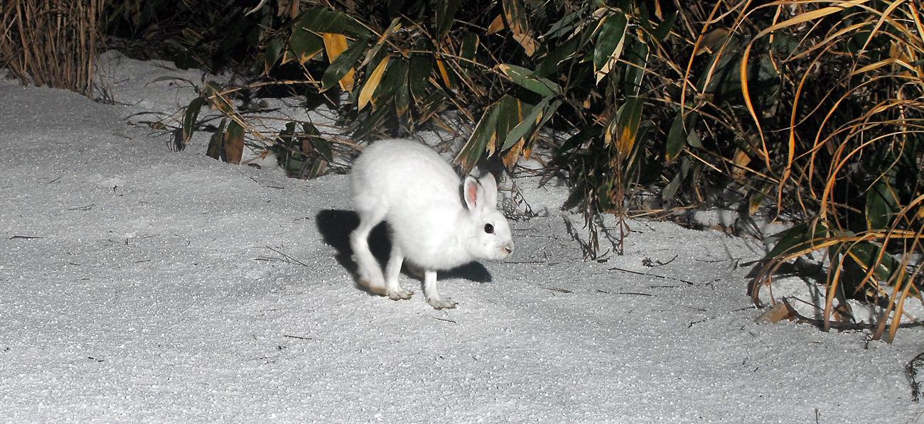 雪の上を駆け抜けるトウホクノウサギ