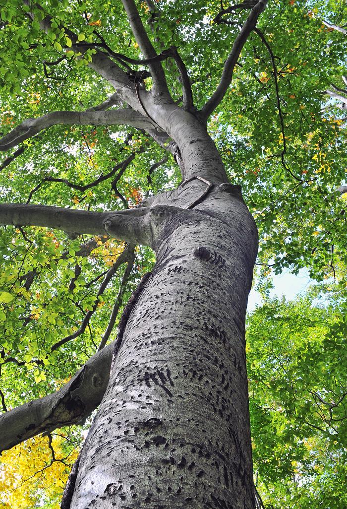 新緑のブナの木肌にクマの爪痕が残っていた