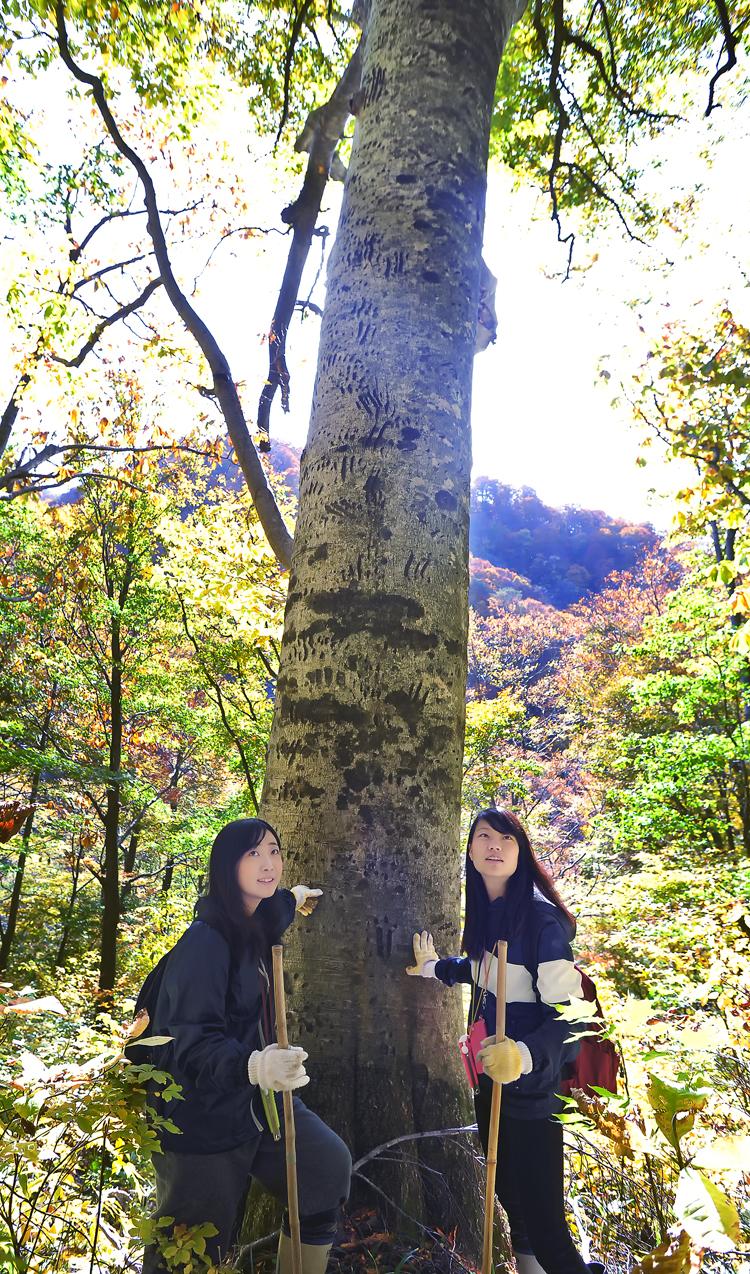 クマが登った爪痕が残るブナの木を見学