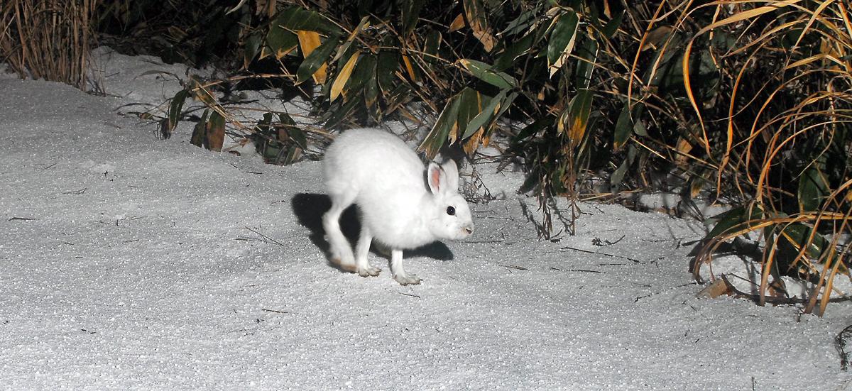 林道に姿を見せたニホンノウサギ
