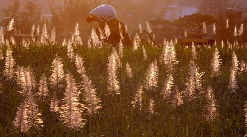 夕日に映える沖縄のサトウキビ畑