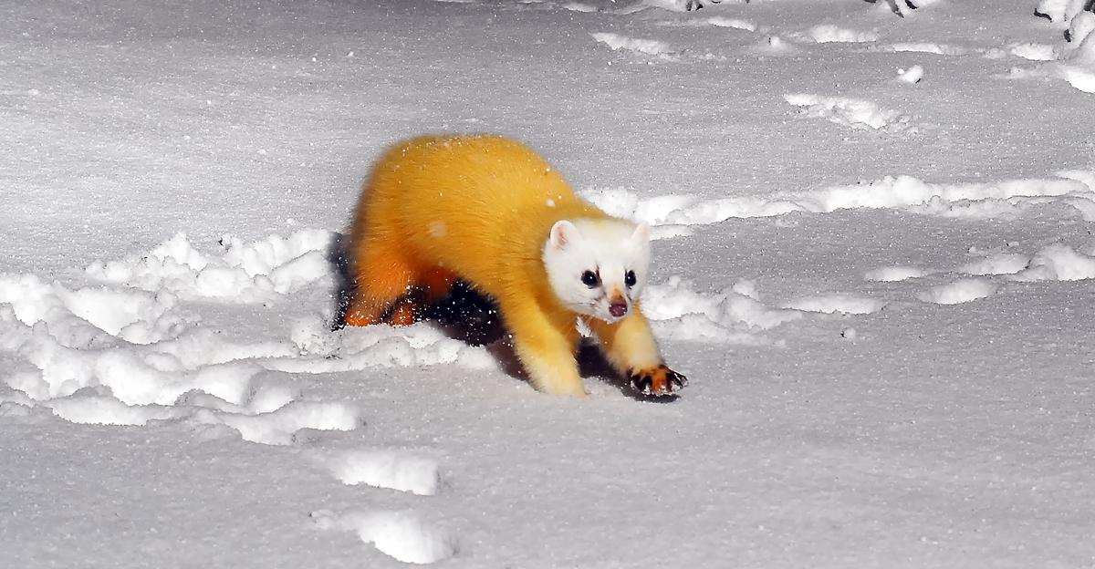 雪の中を駆け回るホンドテン