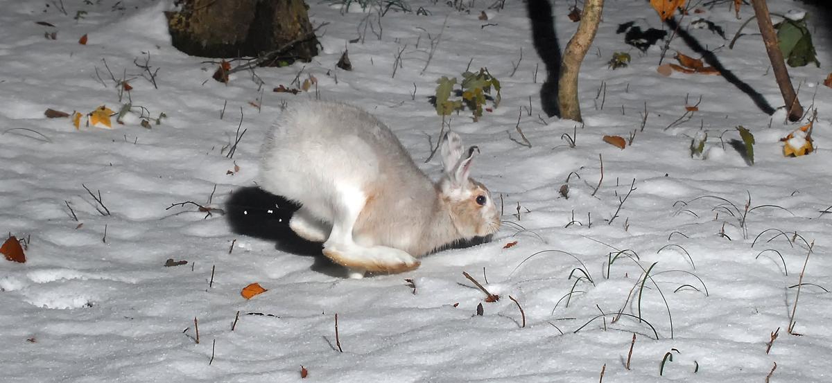 ふり積んだ雪の森を駆け抜けるウサギ